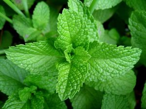800px-mint-leaves-2007